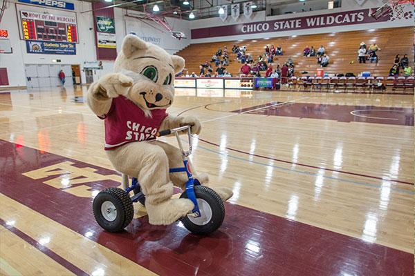 Chico State Wildcat Mascot on Kids Bike
